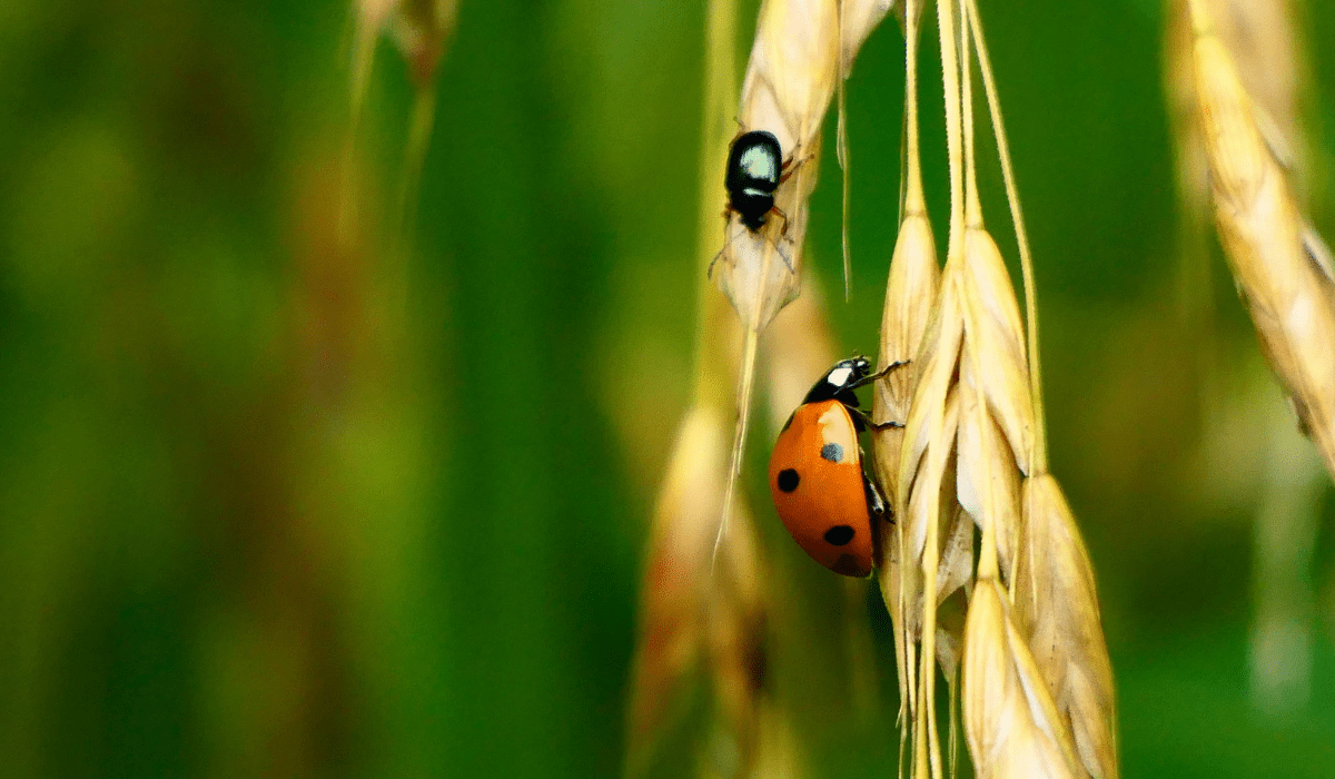 Beetles In Your Lawn